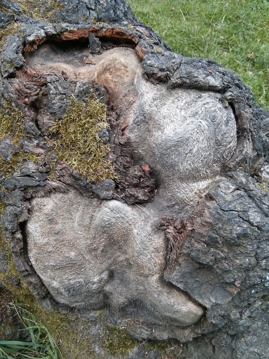 Missing bark on burls